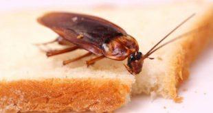 حشرات المطبخ
